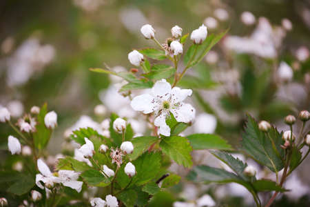 Beautiful plants in spring bloom fruit garden. Blackberry bush with white flowers. Flowering primocane fruiting blackberries of the Rosaceae family. Stockfoto