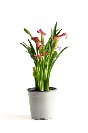 Beautiful potted pink Calla Lilies, Zantedeschia aethiopica;  isolated over a white background with light shadow.