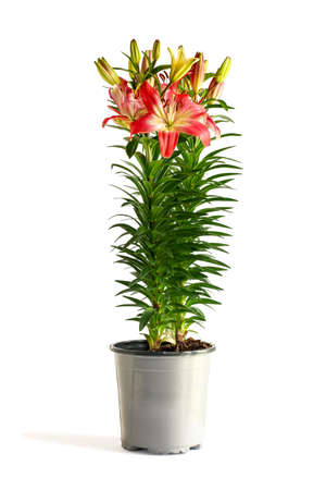Beautiful potted dark pink and white Asiatic Lilies (Oriental Lily), Lilium Hybrid isolated over a white background with light shadow.