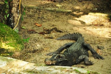 Crocodile moving on land
