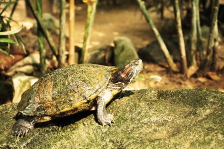 Tortoise on a stone Stock Photo