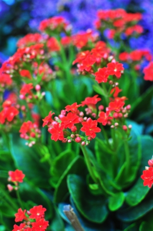 Small Red flowers potted plant Stock Photo