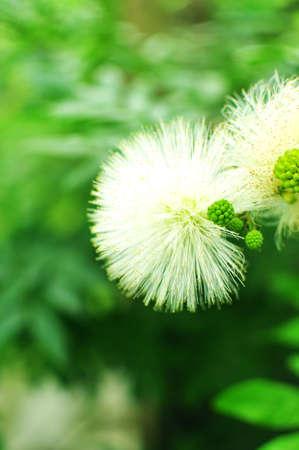 White Puffy Flowers In Garden