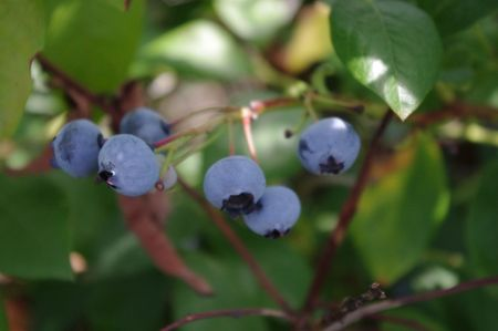 Blueberries on Bush Stok Fotoğraf - 7853614