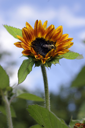 A bee on a sunflower photo