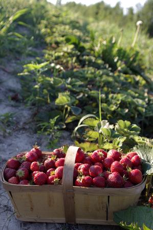A basket full of farm fresh strawberries in a field photo