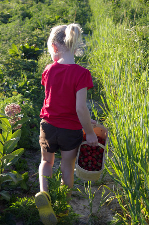 filed: A young girl with a wooden basket in a strawberry filed Stock Photo