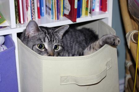 gray tabby: gray tabby cat in canvas box Stock Photo
