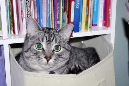 gray tabby cat in canvas box Banco de Imagens