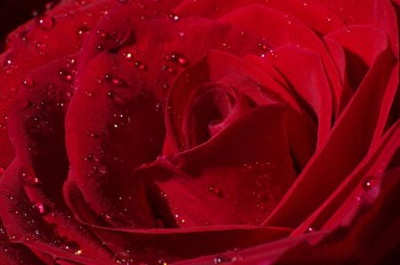 close up: Close up of red rose pedals