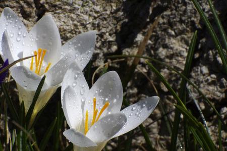 close up of two white  crocus Reklamní fotografie