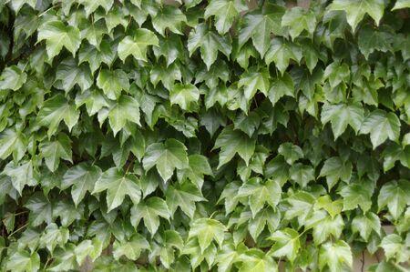 厚い緑のつたを葉します。 写真素材 - 75060025