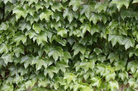 Thick green ivy vine leaves