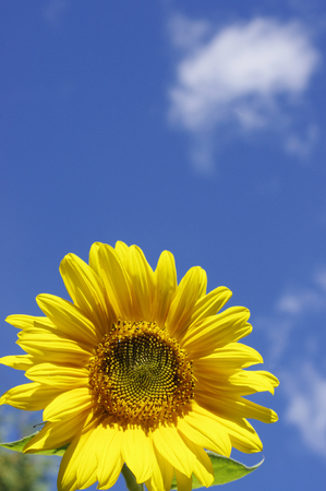 yellow sunflower on sky background with clouds Reklamní fotografie - 75210630