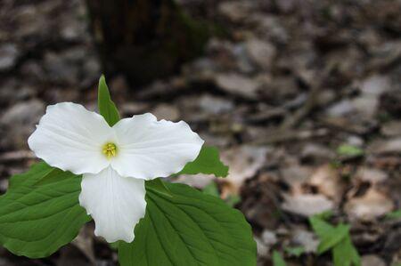Single white trillium flower on dark background Stock Photo