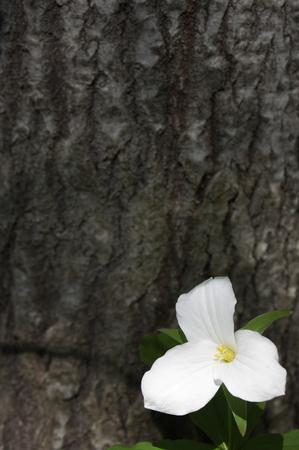 Single white trillium flower on bark background