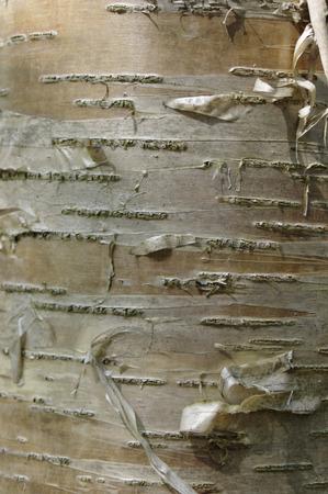 Silver birch tree bark texture