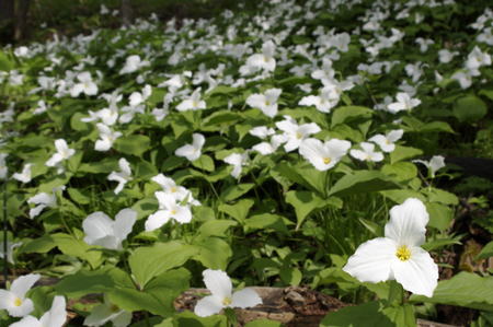 Field of Trillium flowers in woods Stock Photo