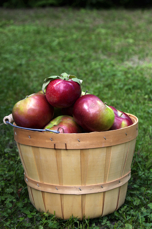 Red Macintosh apples in wooden basket on green grass background with copy space