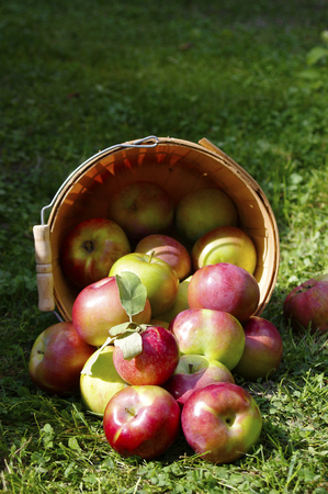 Red Macintosh apples spilling out of wooden basket ontp green grass