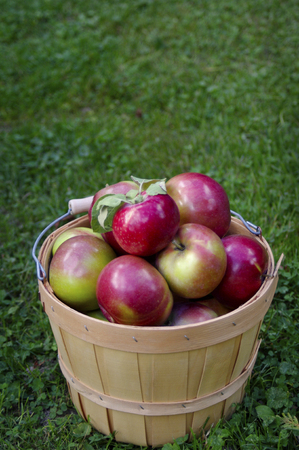Top view of Red Macintosh apples in wooden basket on green grass background with copy space Stock Photo