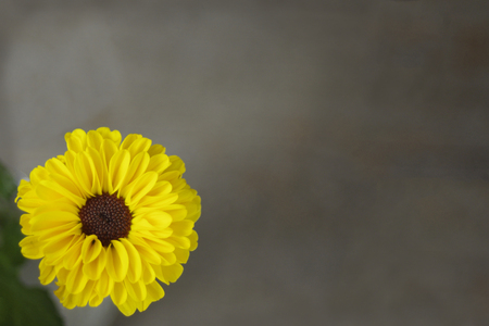 Small yellow daisy mum on brown background with copy space Imagens