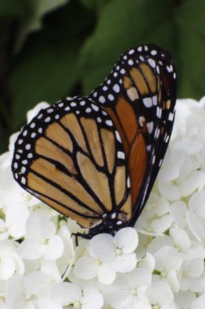 monarch butterfly on white hydrangea flowers