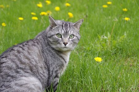 Gray tabby cat on green grass with yellow dandelions with copy space
