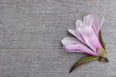 pink Magnolia flower on rustic wooden background with copy space