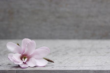 pink Magnolia flower on rustic wooden background with copy space Stok Fotoğraf - 142190478