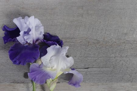 pair of purple irises flowers on rustic wooden background with copy space Stok Fotoğraf - 142190515