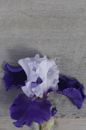 purple iris flower bloom on rustic vertical wooden background with copy space