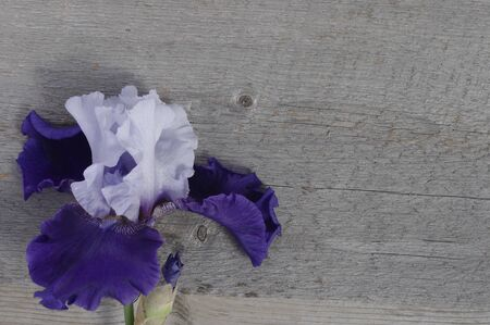 purple iris flower bloom on rustic wooden background with copy space