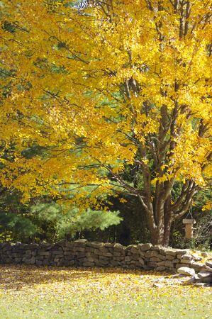 yellow fall tree with rock wall