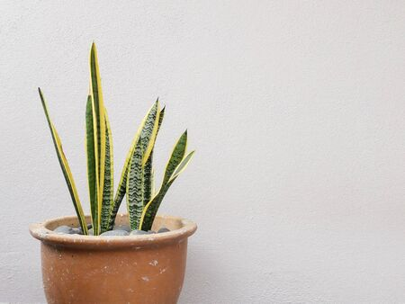 Snake plant on big pot with white background
