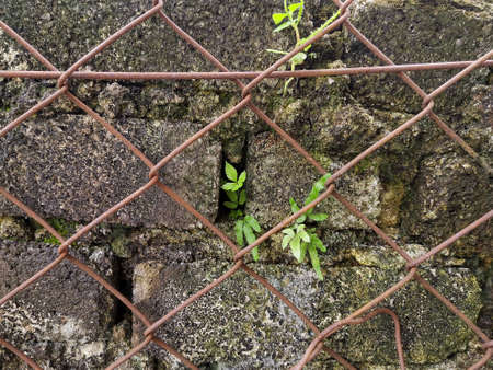 Brick wall behind diamond mesh rusty wire fence with some small plants growing out 版權商用圖片