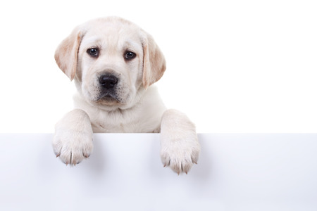 Labrador puppy dog holding sign isolated on white photo