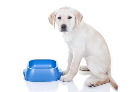Funny hungry Labrador retriever puppy dog and empty food dish