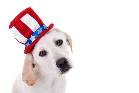 sam: Patriotic Labrador puppy dog isolated on white