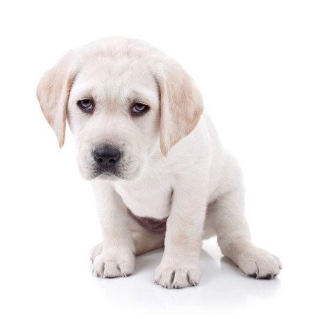 Tired Labrador puppy dog isolated on white photo
