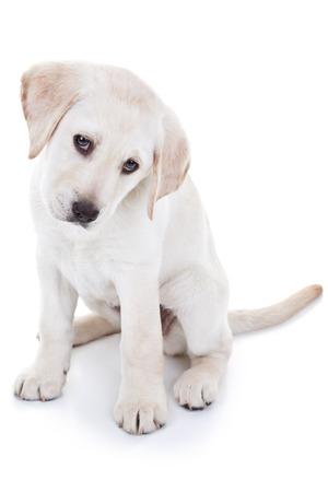 Labrador retriever puppy dog isolated on white photo