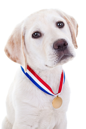 Award winning Labrador puppy dog wearing gold medal photo
