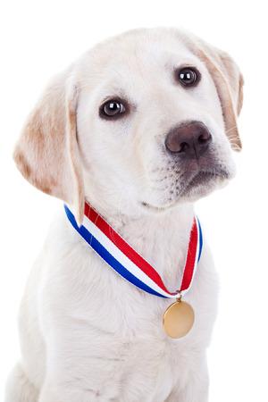 Award winning Labrador puppy dog wearing gold medal