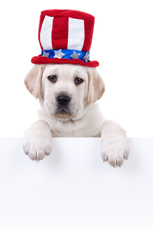 sam: Patriotic Labrador puppy dog holding sign or banner Stock Photo