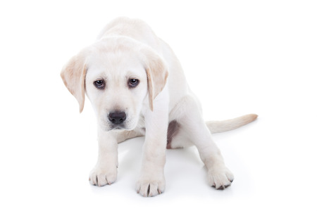 disobedient: Sad or bad Labrador puppy dog