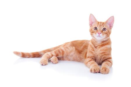 Gember kat geïsoleerd op een witte achtergrond