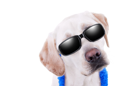 Summer holiday vacation Labrador dog in sunglasses