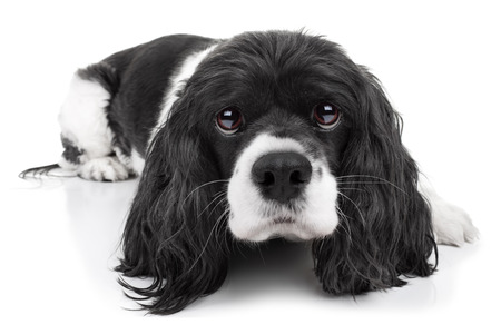 Spaniel dog isolated on white