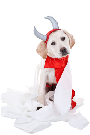 Bad Halloween Labrador puppy dog in devil costume with toilet paper photo