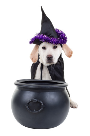Halloween witch Labrador puppy dog isolated Stock Photo